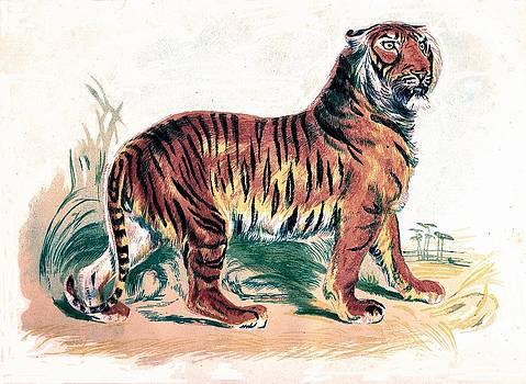 Tiger by Michael Dohnalek