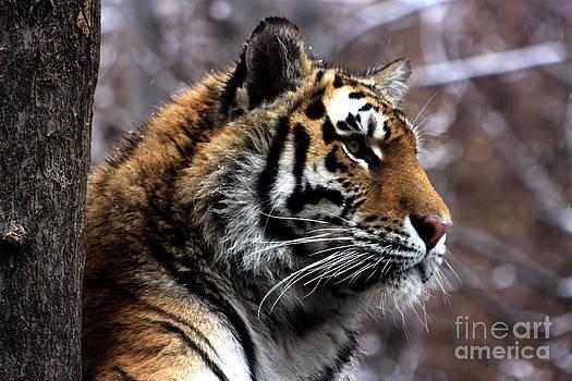 Nick Gustafson - Tiger Profile