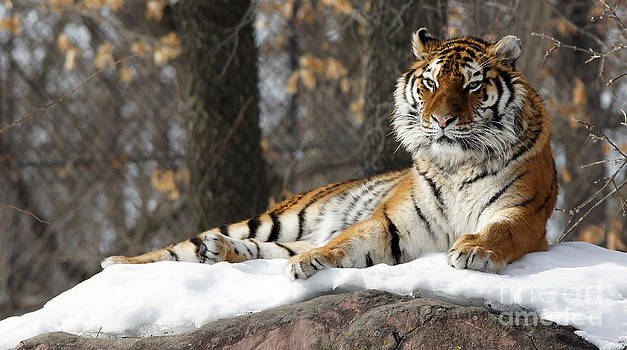 Tiger Relaxing Snow Cover Rock by Tina Hailey