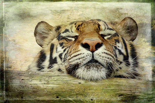 Tiger Snooze by Athena Mckinzie