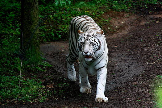 Tiger Strut by Jim Johnson