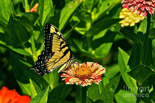 Byron Varvarigos - Tiger Swallowtail and Peppermint Stick Zinnias