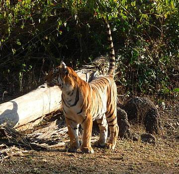 Tiger Tail up by Rashid Hamza