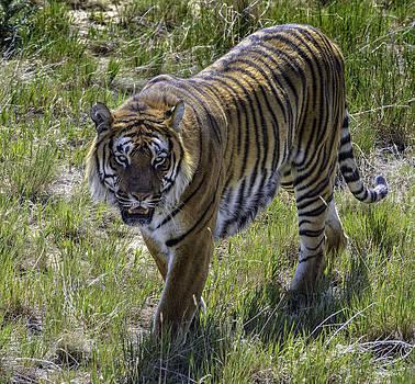 Tiger by Tom Wilbert