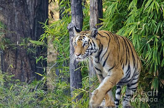 Tiger International Day by Pravine Chester