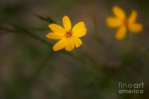 Tiny Daisies by Jeremy Linot