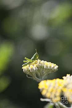 Tiny Grasshopper Nymph Macro on Flowers by Brandon Alms