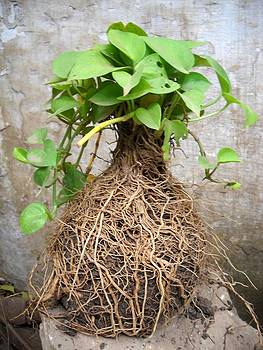 Tiny-plant with multi-roots by Basant Soni