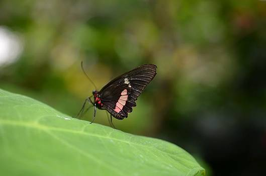 Tip Toe Butterfly by Chandra Wesson