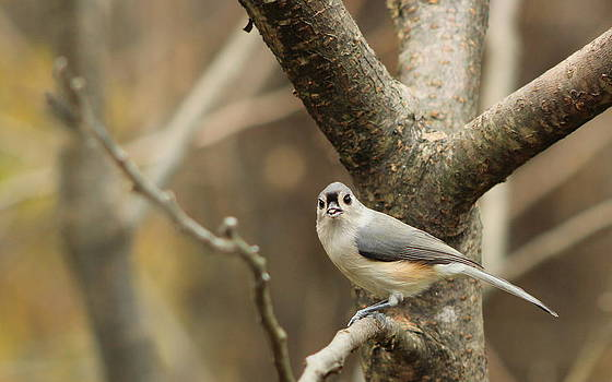 Titmouse with Seed by Ellen Ryan