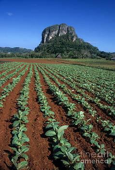 James Brunker - Tobacco Field