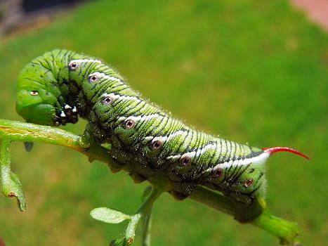 Tomato Horn Worm Caterpillar by Donna Jackson
