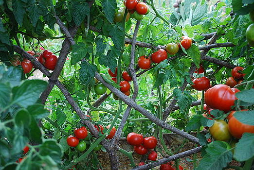 Tomatoes Growing On Trellis by Steve Masley