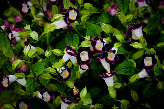 Torenia Singapore Flower by Donald Chen