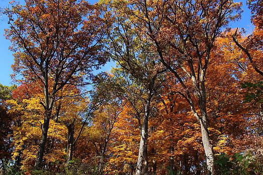 Rosanne Jordan - Towering Trees of Autumn