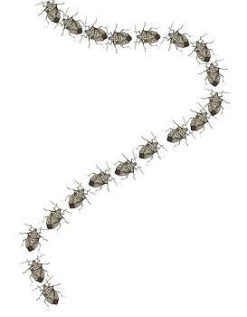 Trail of Stink Bugs by R  Allen Swezey