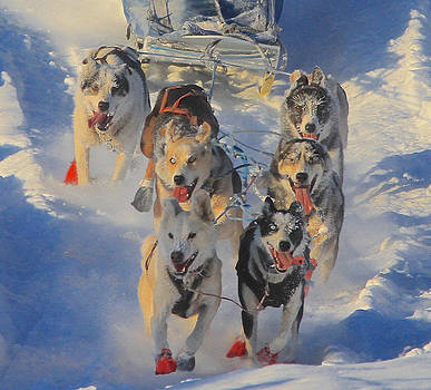 Training for Iditarod by Donna Quante