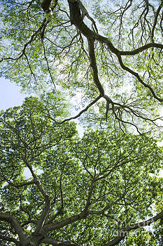 Charmian Vistaunet - Tree Canopies