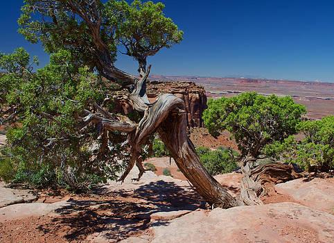 Tree In Canyonlands by David Hintz