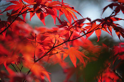 Jenny Rainbow - Tree in Passion. Japanese Maple