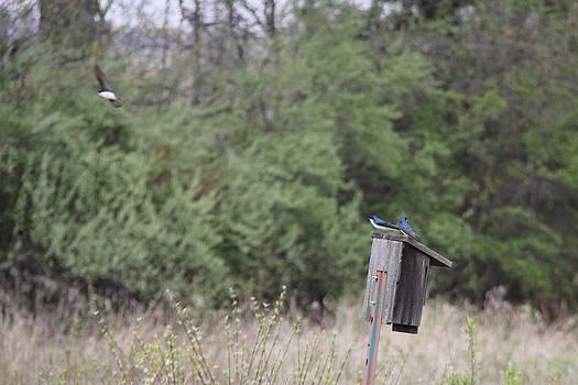 Adrienne Franklin - Tree Swallow