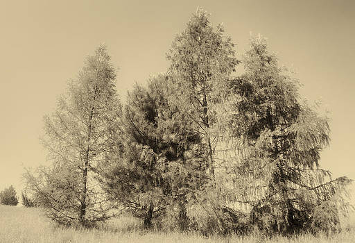 Trees in sepia tone by Peter Fodor
