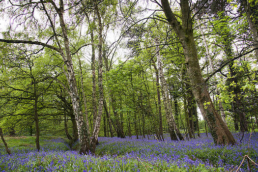 Trees in the Bluebells by Andrew James