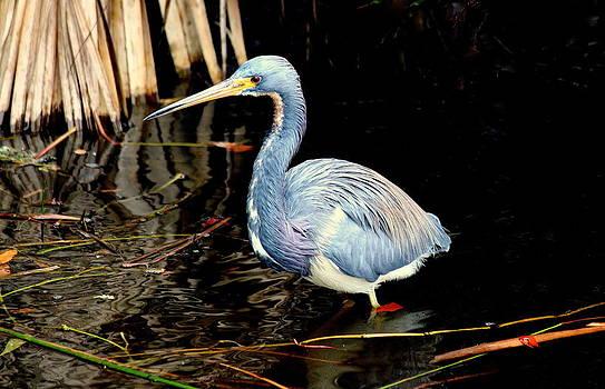 Rosanne Jordan - Tri Colored Heron Beauty