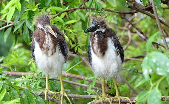 Tri Colored Heron Siblings by Jodi Terracina