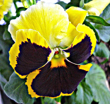 Tricolor pansy by Jo Ann