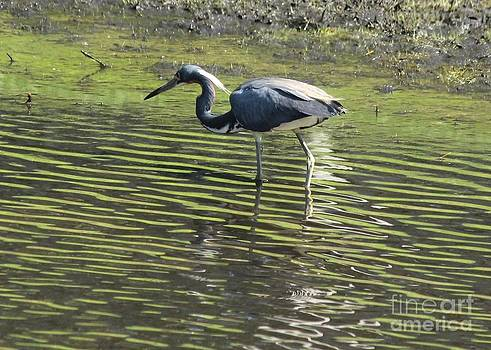 Tricolored Heron by Theresa Willingham