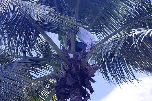 Trimming the Palm Tree by Dick Willis