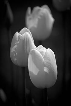 Tulips in Black and White by Peggie Strachan
