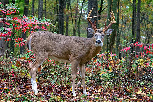 Mary Almond - Trophy Buck in Autumn