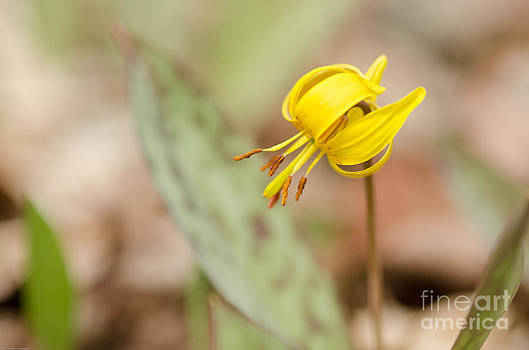 Trout Lily by Tiffany Rantanen