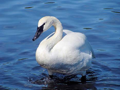 Trumpeter Swan 2 by Cheryl Hoyle