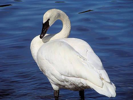 Trumpeter Swan by Cheryl Hoyle