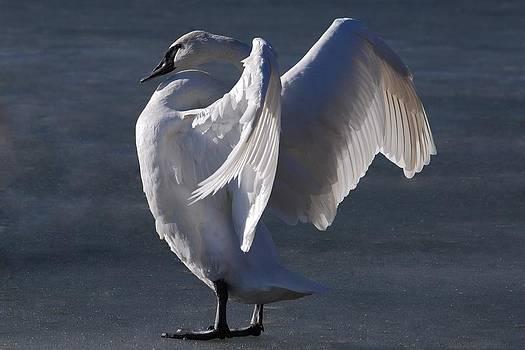 Trumpeter Swan - Zeus by Joy Bradley
