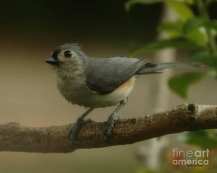 Tufted Titmouse Close Up by Amanda Collins
