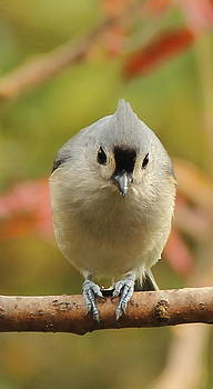 Tufted Titmouse Leaning In by Ellen Ryan