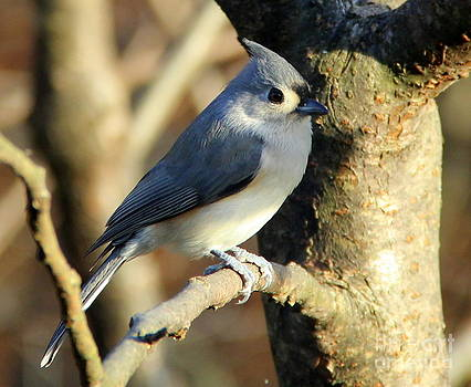 Tufted Titmouse on Branch by Ellen Ryan