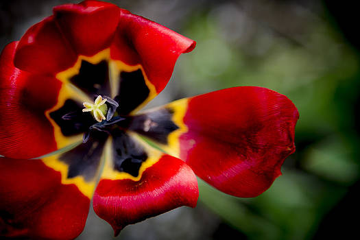Tulip After the Storm by Courtney DeGregorio