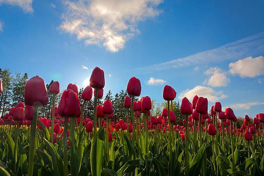 Matt Dobson - Tulip Field Against Blue Sky