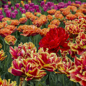 Tulip Field by Nicole Link