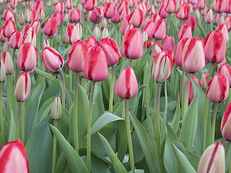 Tulip Heaven by Bucko Productions Photography
