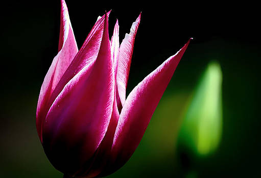 Tulip in the Dark by Gary Smith