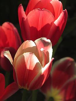 Alfred Ng - tulip in the light
