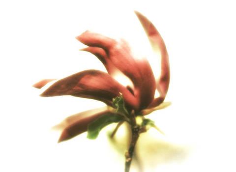 Tulip Magnolia Blossom by Heather Bridenstine