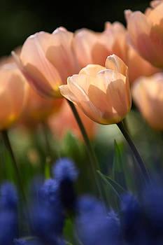 Tulip Study by Istvan Nagy