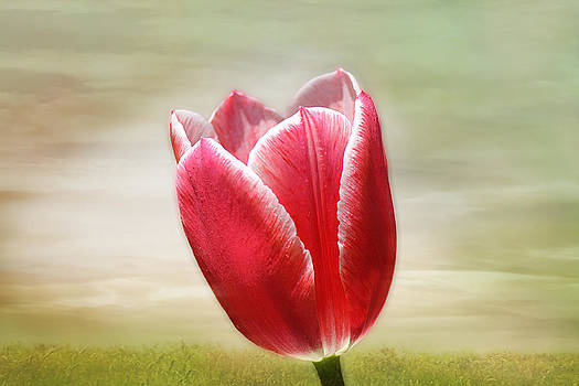 Tulip Time by Beckie Fitgerald